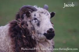 ross farm - jacob-2